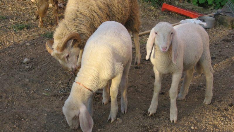 Crollo in una baracca per animali salvate tutte le pecore - La pagina della colorazione delle pecore smarrite ...