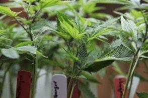 chiudete i cannabis shop