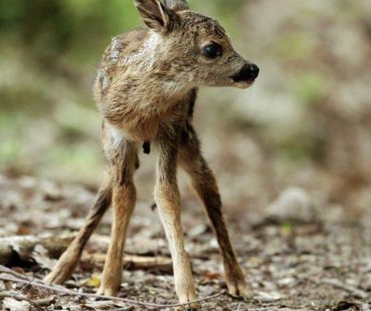 Guardia giurata investe un capriolo la provincia di biella for Capriolo animale