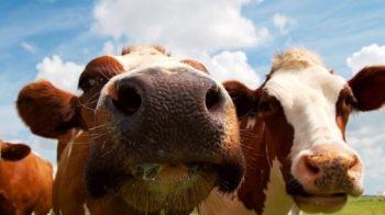 incornata da una mucca