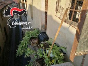 Coltivavano marijuana