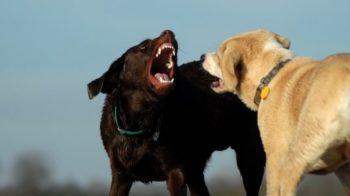 Grossi cani