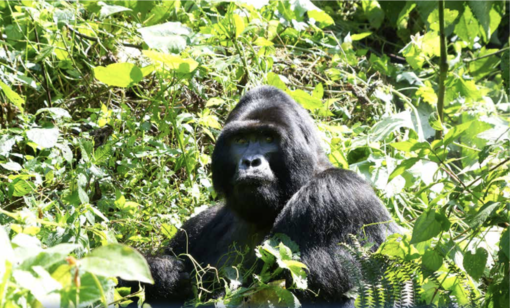 Bugianen in Uganda